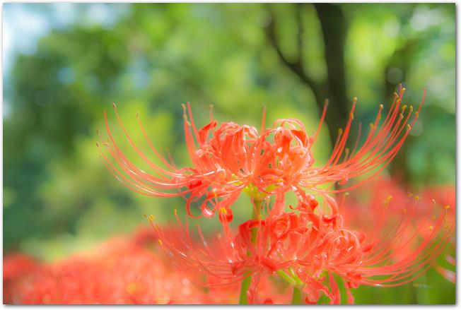 お墓の横に咲く曼珠沙華の花