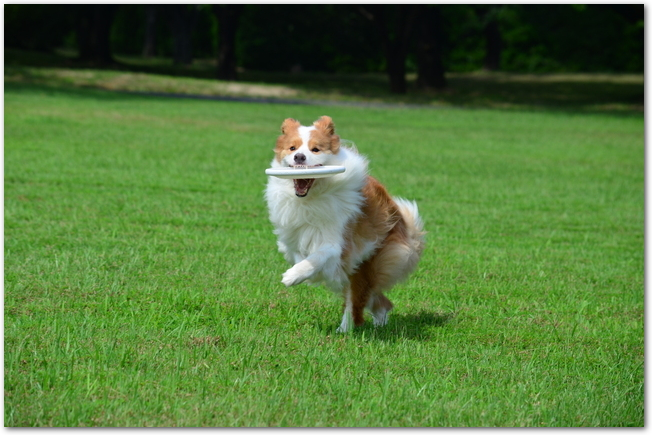 フリスビーをくわえて芝生の上を走る二匹のボーダーコリー