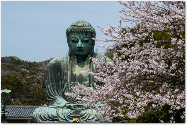 晴れた春の日の鎌倉の大仏と桜