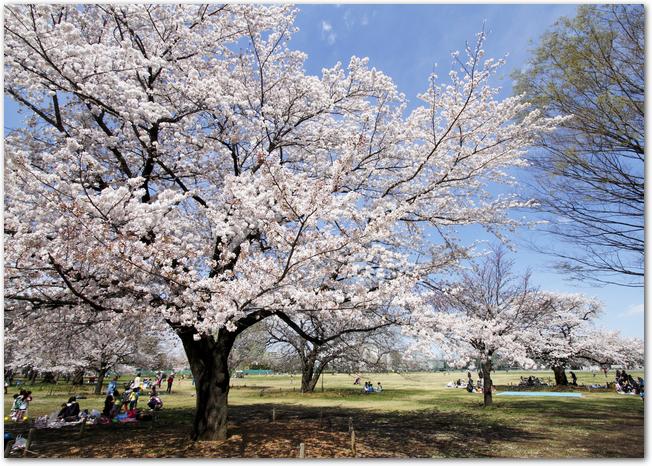 武蔵野中央公園の桜とお花見をする人の様子