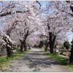 多磨霊園の桜並木がおすすめ?桜の評判は?開花情報は?