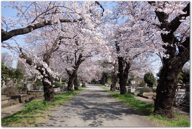 晴れた日の多磨霊園の満開の桜並木の様子