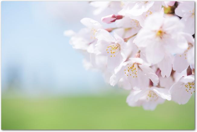 青空と草原を背景にした桜の花のアップ